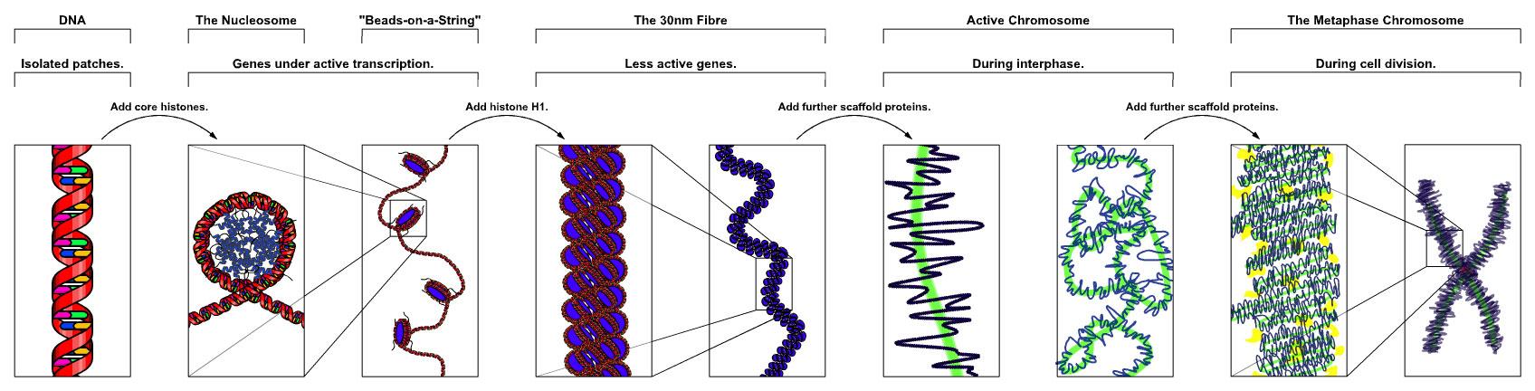 Chromatin_Structures.jpg