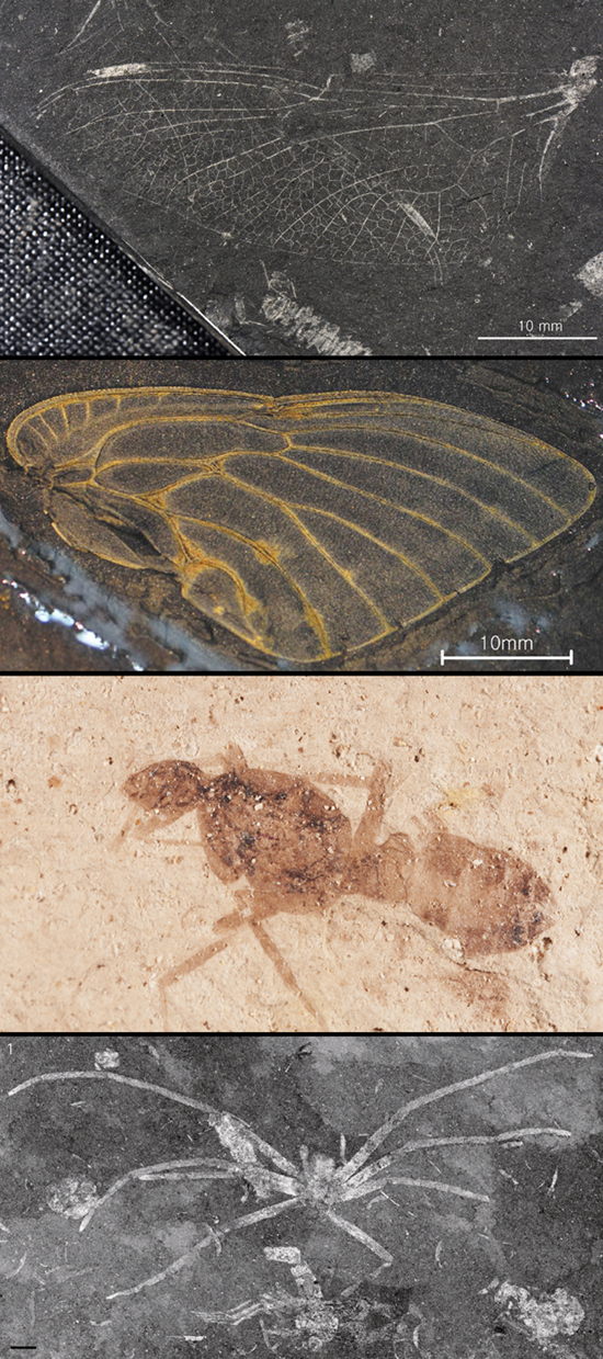fossilinsects011.jpg