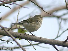 Greenish_Warbler