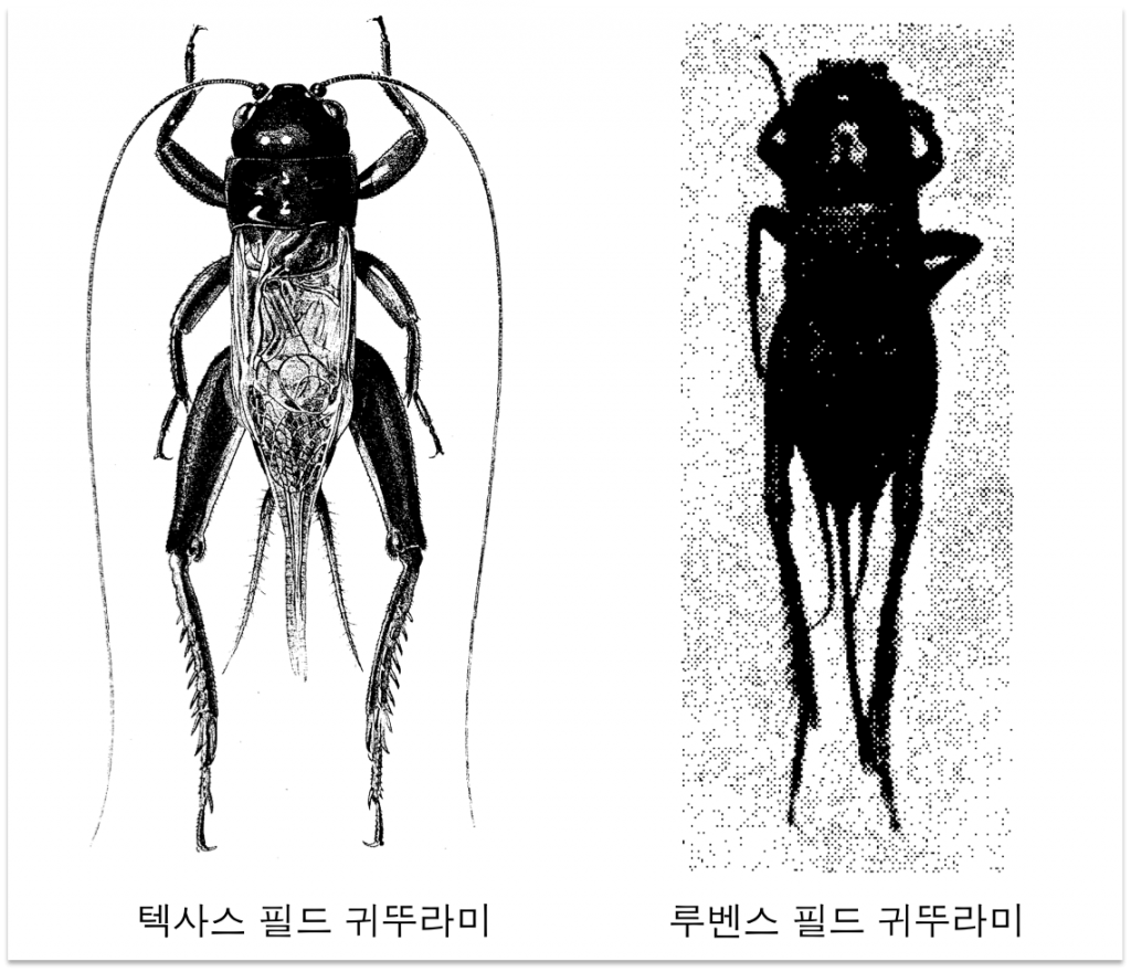 텍사스 필드 귀뚜라미와 루벤스 필드 귀뚜라미. 출처: Cade W. H., Otte D. Gryllus texensis n. sp.: A Widely Studied Field Cricket (Orthoptera; Gryllidae) from the Southern United States. Trans Am Entomol Soc, 126:117-123 (2000), Axelander, R.E, The taxonomy of the field crickets of the eastern United States (Orthoptera: Gryllidae: acheta) Ann Entomol Soc Am, 50, 585-602 (1957)