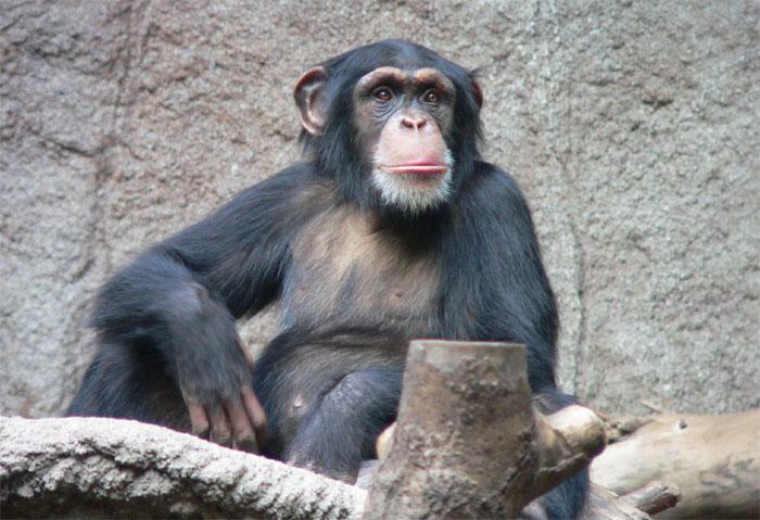 00chimpanzee1.jpg