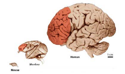 prefrontal3