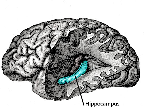 00brainHippocampus.jpg