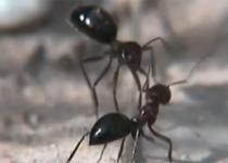 [뉴스] 개미들의 '싸우는 척' 행동...싸움 희생을 줄이다