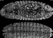 [뉴스] 초파리 배아에서 펼쳐지는 세포들의 하모니