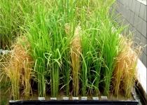 [수첩] 'GM쌀' 연구활발.. GMO논쟁 '주곡'으로 번지나?
