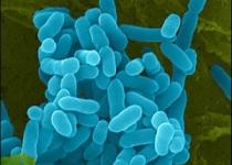 [뉴스] 세균이 병균으로 바뀌는 메커니즘 규명