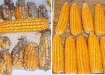 [특집] GMO 디스토피아 과장된 상상 -박효근 대표